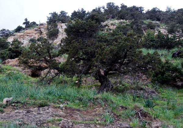 Stinking Juniper (Juniperus foetidissima) ?, Aphrodite's Bath