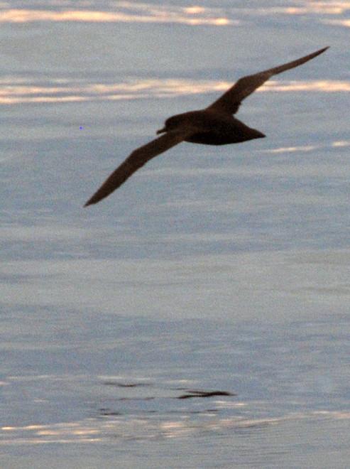 Sooty Shearwater, Foveaux Strait.