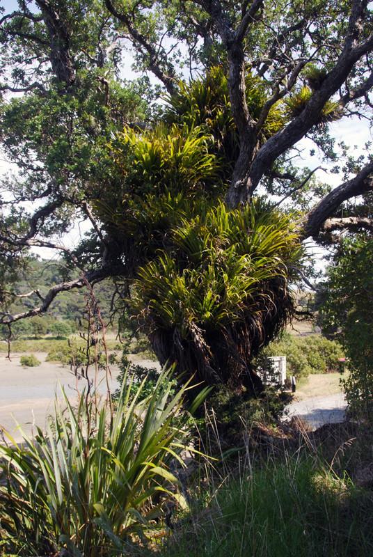 Pohutukawa festooned with epiphytes at Mahurangi Regional Park.