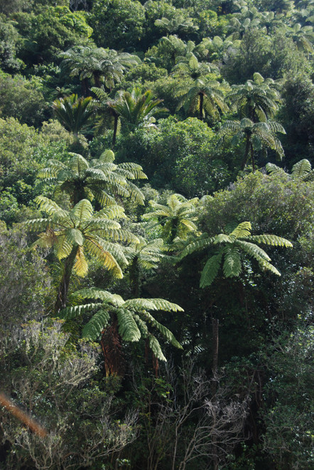 Mamuka and nikau palms in scrub forest at the bottom of the Wainui Waterfall walk, Golden Bay. Big dark stipes and longest frond of the NZ tree ferns