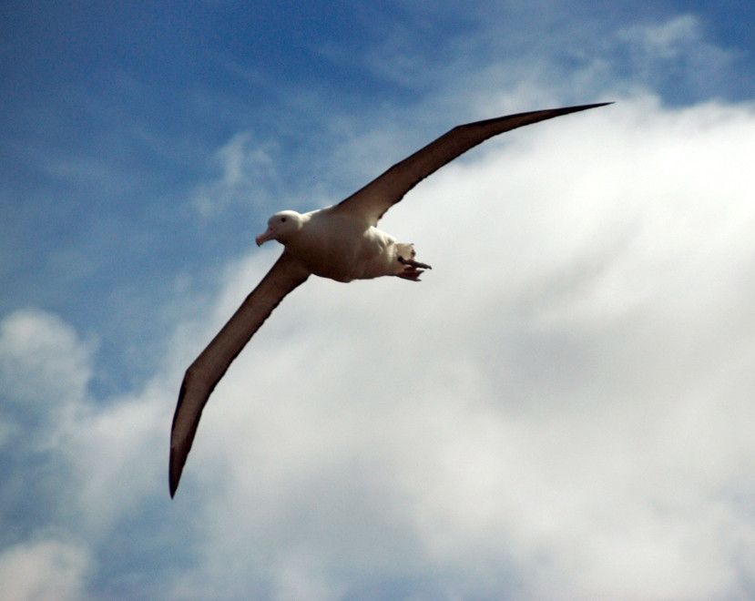 A lonely ocean wanderer: in a two week foraging trip an Royal Albatross clocked up 13,000km