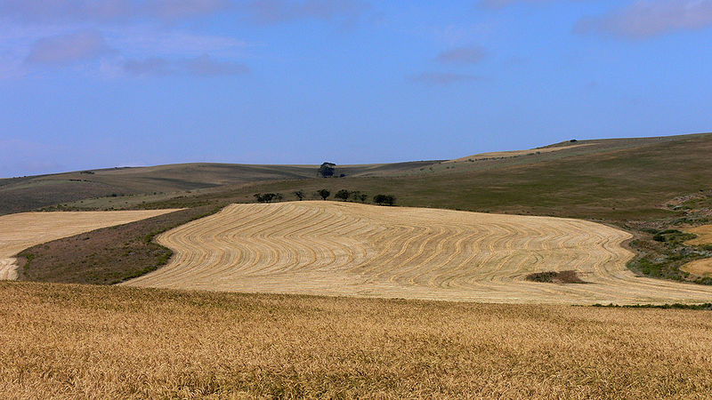 Wheat fields near Bredasdorp, Overberg  (c) Winfried Bruenken  Wikimedia)