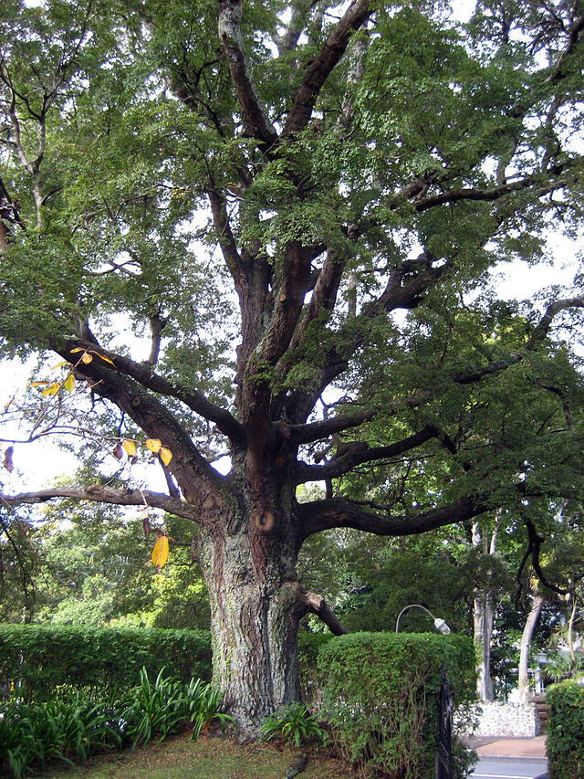 Black beech specimen tree (Courtesy Kahuroa WikiCommons)