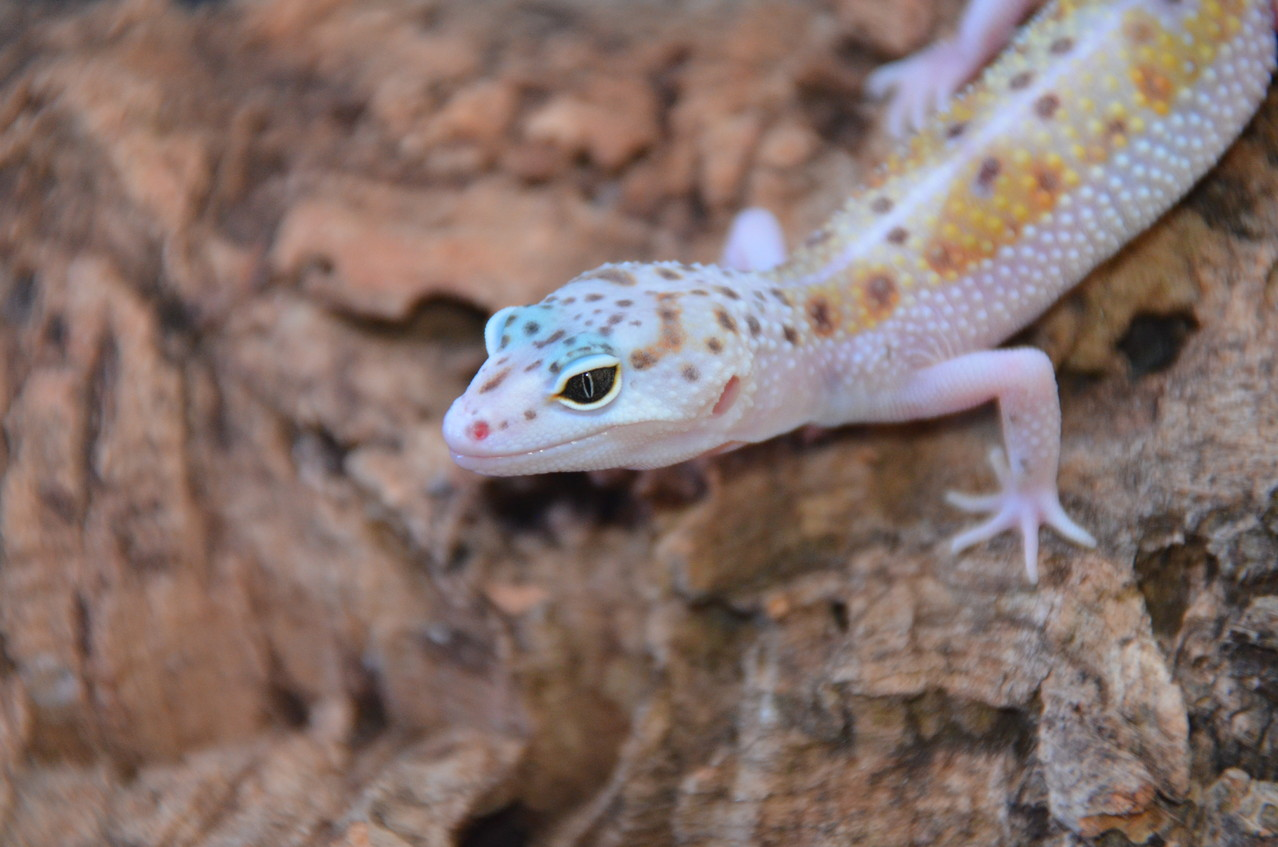 leopardgecko, leopard gecko (Eublepharis macularius) White and Yellow