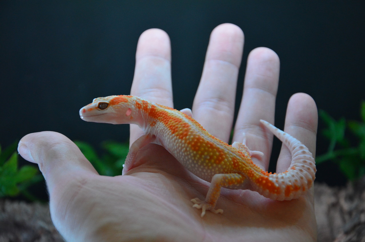 leopardgecko, leopard gecko (Eublepharis macularius) W&Y Tremper Albino