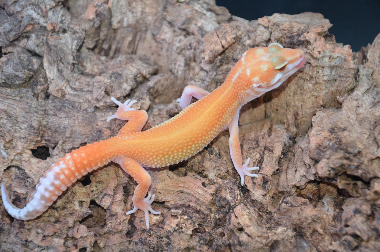leopardgecko, leopard gecko (Eublepharis macularius) APTOR