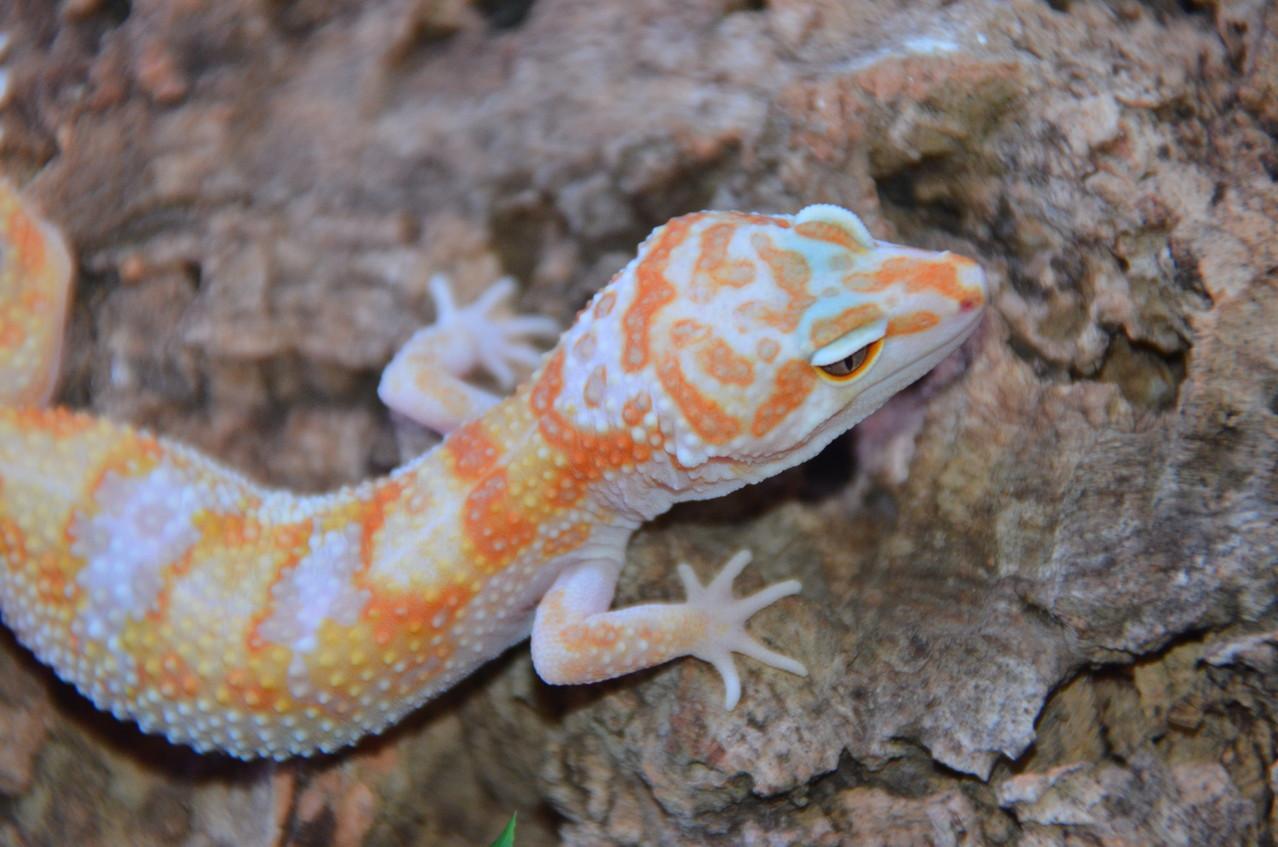 leopardgecko, leopard gecko (Eublepharis macularius) W&Y Tremper Albino het RAPTOR