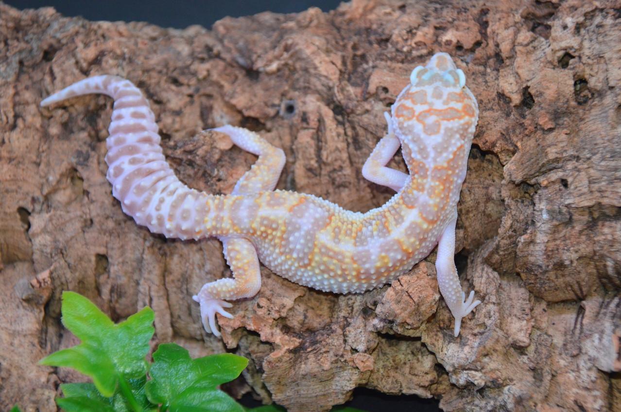 leopardgecko, leopard gecko (Eublepharis macularius) W&Y Mack Snow Tremper Albino