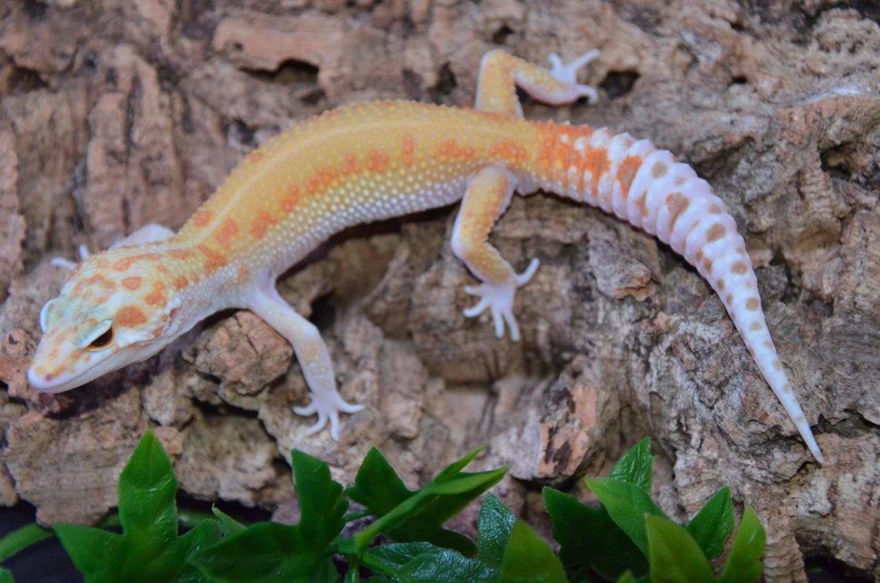 leopardgecko, leopard gecko (Eublepharis macularius) W&Y RAPTOR