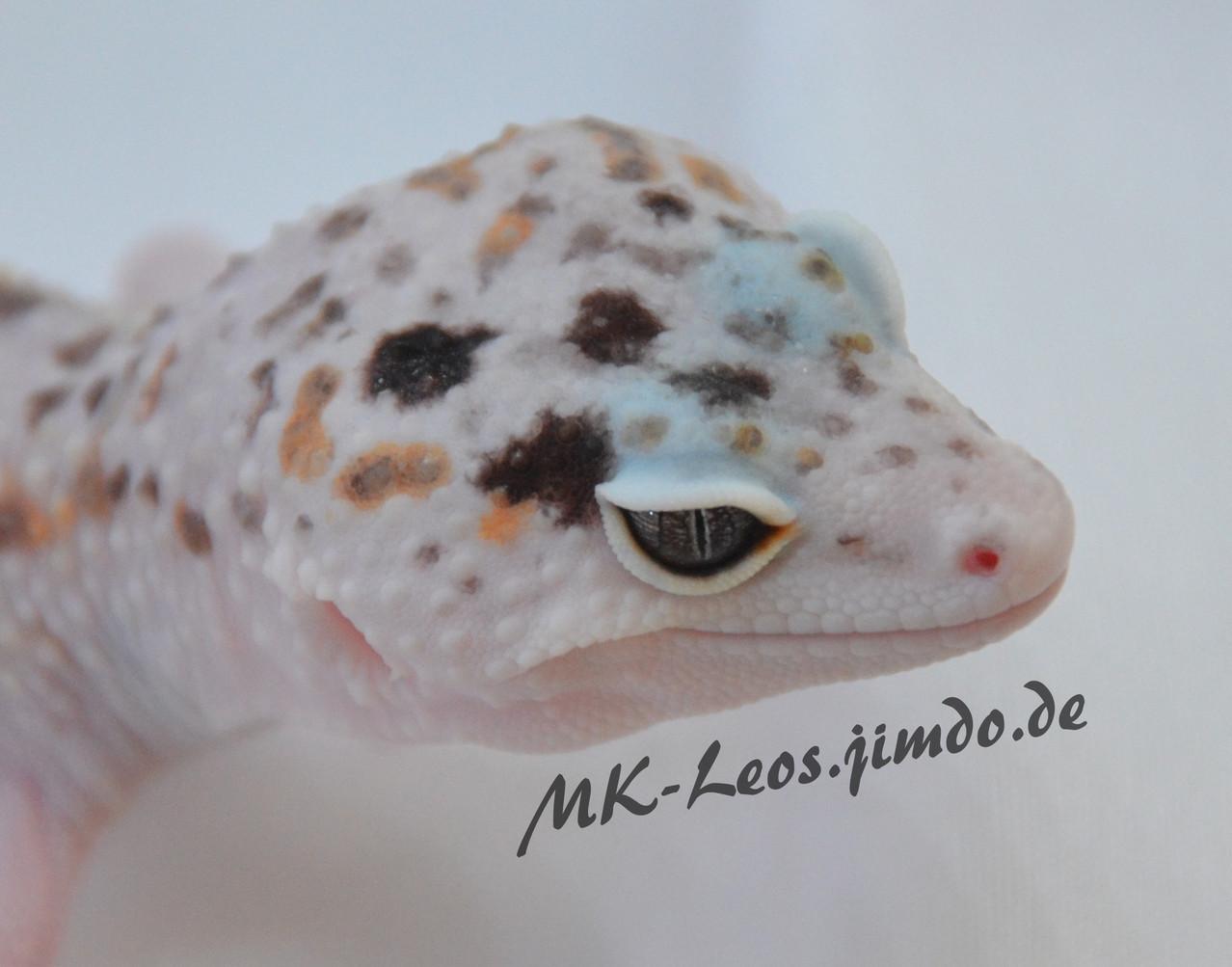 leopardgecko, leopard gecko (Eublepharis macularius) W&Y Mack Snow het. Tremper Albino