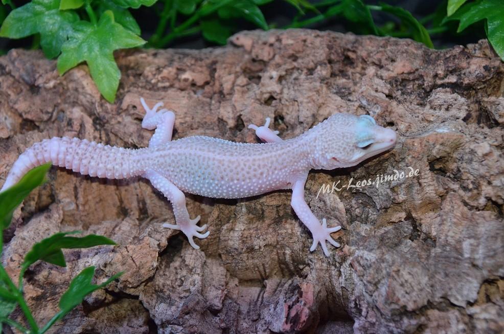 leopardgecko, leopard gecko (Eublepharis macularius) Super RAPTOR het. Diablo Blanco