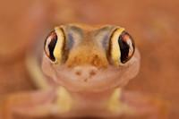 Palmatogecko in der Namib, Namibia