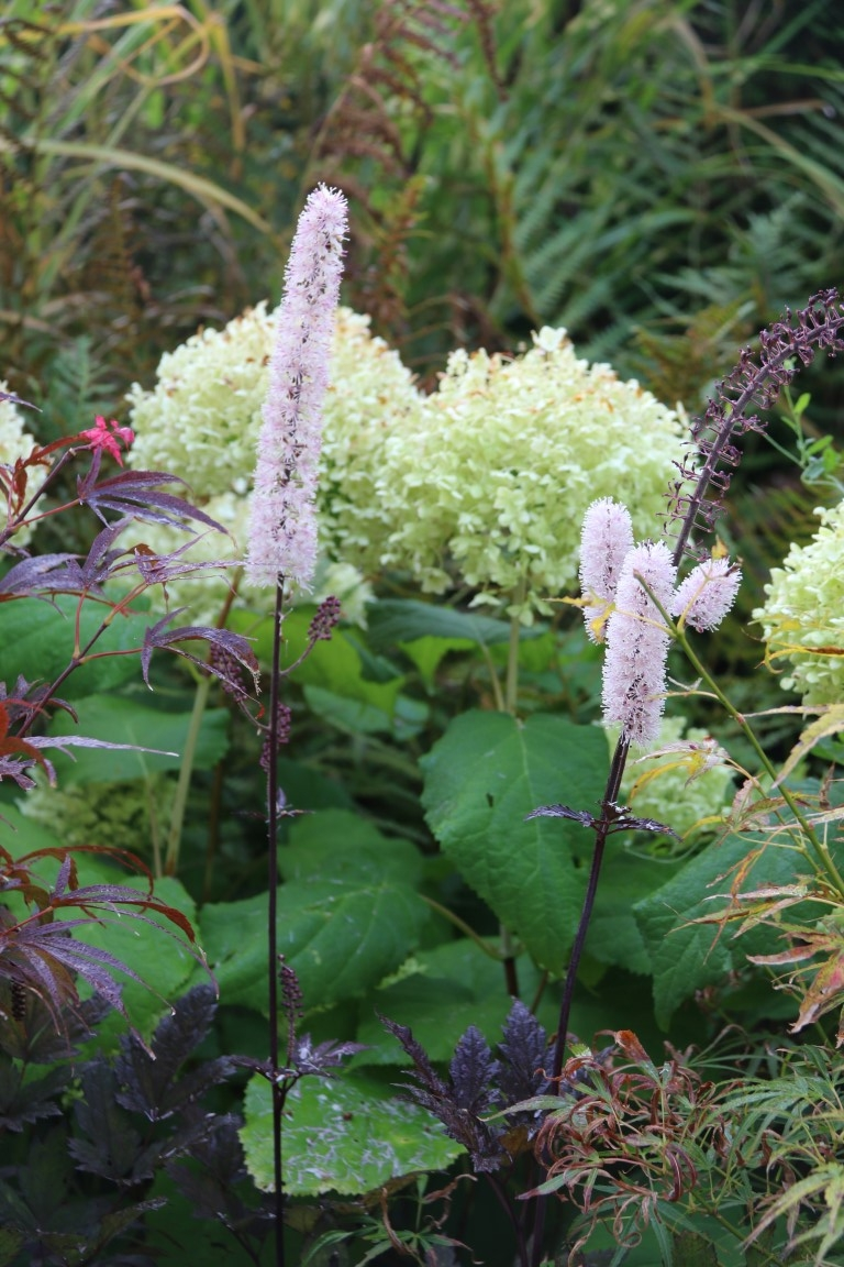 Cimicifuga 'Brunette et Hydrangea arborescens 'Annabelle