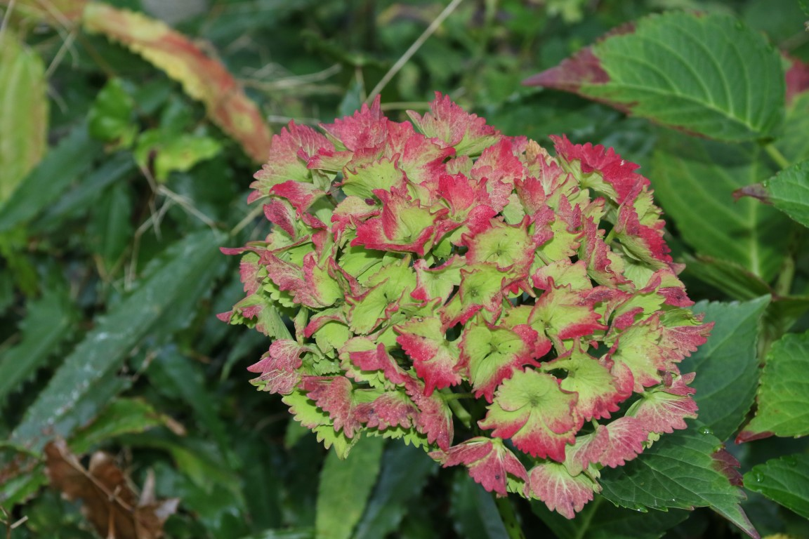 Hydrangea macrophylla 'Magical Jade