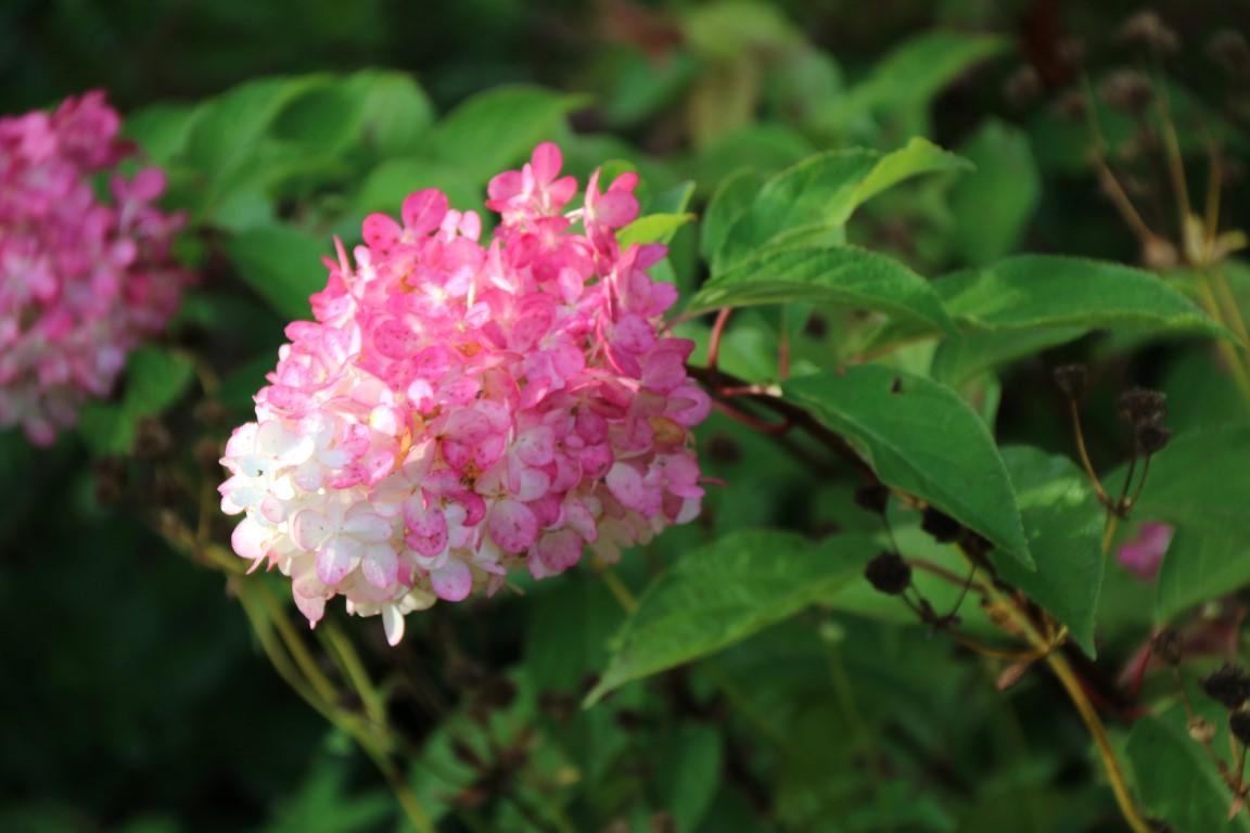 Hydrangea paniculata 'Vanille Fraise