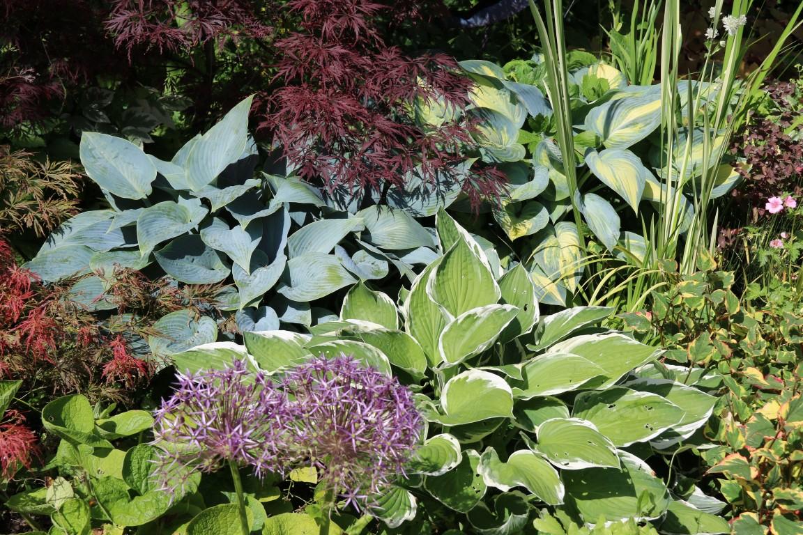 Hostas, Allium, Acer, Houttuinya cordata