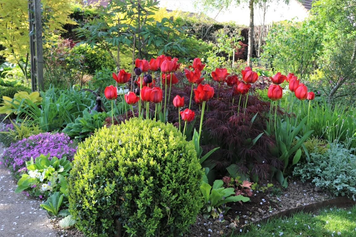 Acer palmatum dissectum 'Garnet traversé par les tulipes