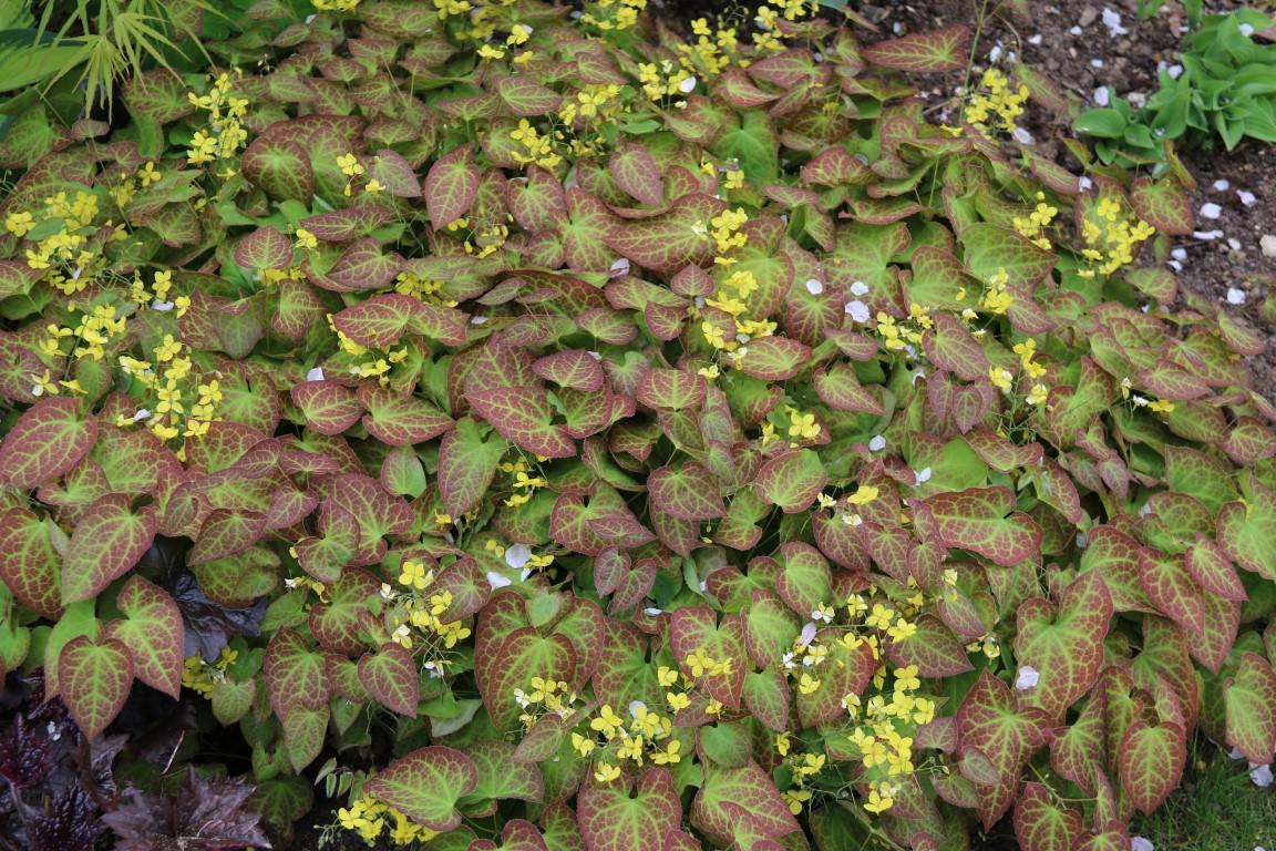 Epimedium versicolor 'Sulphureum
