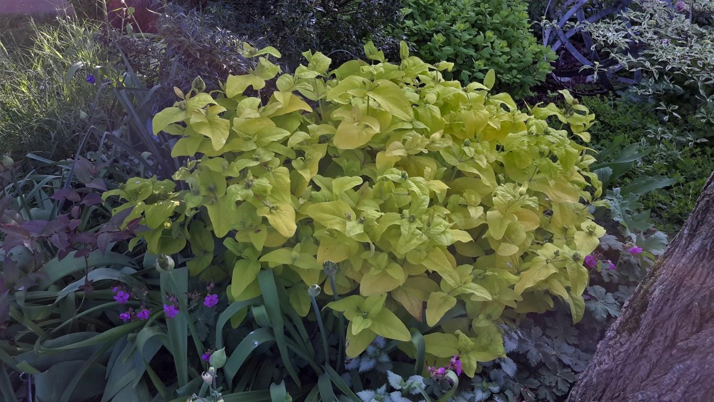 Hypericum inodorum Golden Beacon