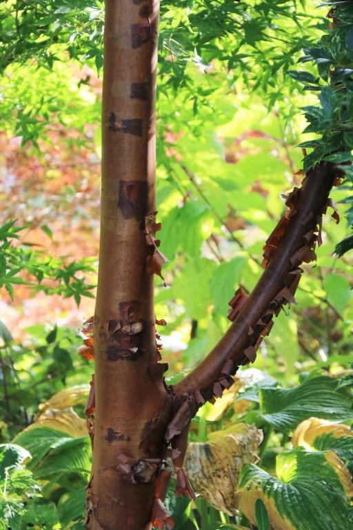 Acer griseum : Ecorce