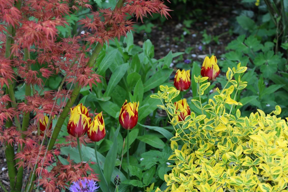 Tulipes, Euonymus 'Elegant aureus, Acer 'Wilson's Pink Dwarf