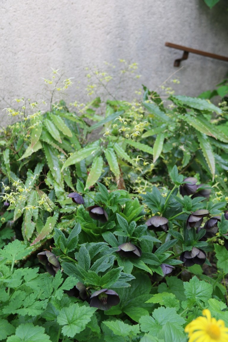 Heleborus, Epimedimedium 'Spine Tingler