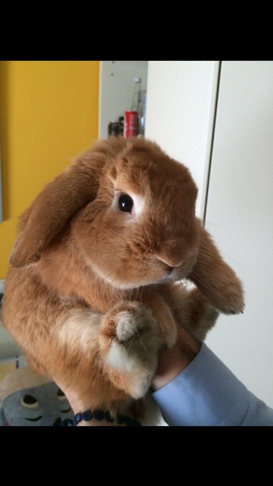 Coniglio nano ariete Fulvo Milano mini lop coniglietti da compagnia