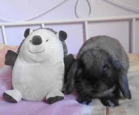 Coniglio nano ariete giarra bianca blu Madagascar Milano mini lop coniglietti da compagnia