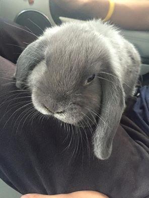 Coniglio nano ariete giarra bianca blu Pordenone mini lop coniglietti da compagnia