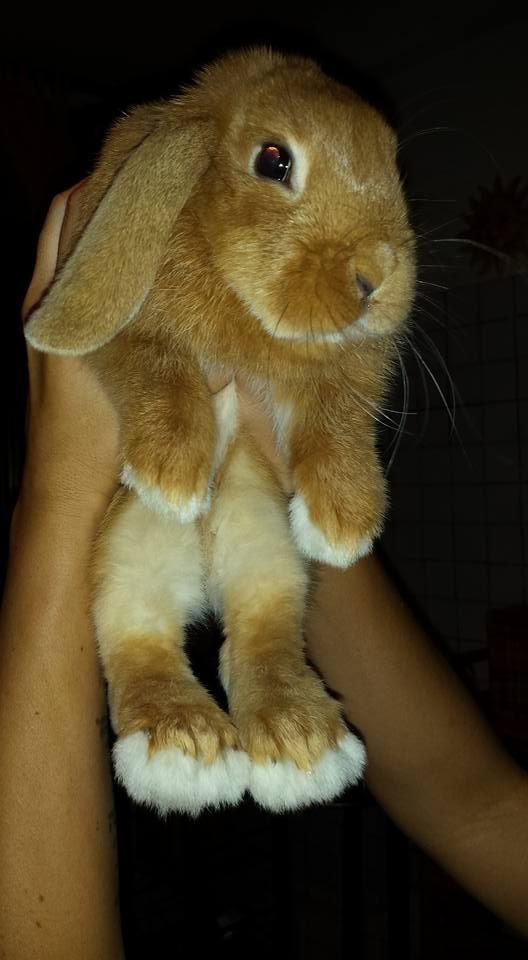 Coniglio nano ariete Paco Pescara Fulvo mini lop coniglietti da compagnia