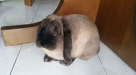 Coniglio nano ariete  martora bruno Roma mini lop coniglietti da compagnia