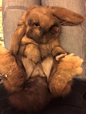 Coniglio nano ariete giarra madagascr Roma  bianca blu Pordenone mini lop coniglietti da compagnia