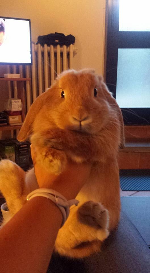 Coniglio nano ariete fulvo Siena mini lop coniglietti da compagnia