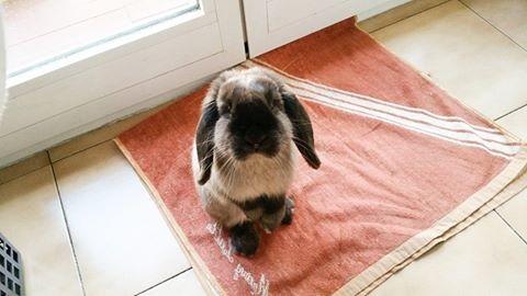 Coniglio nano ariete giarra bianca blu  martora Milano Pordenone mini lop coniglietti da compagnia