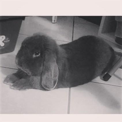 Coniglio nano ariete giarra bianca blu MILANO Pordenone mini lop coniglietti da compagnia