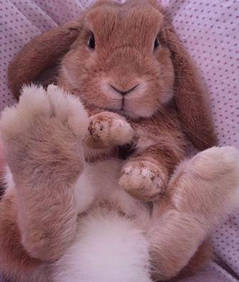 Coniglio nano arietefulvo Brindisi mini lop coniglietti da compagnia