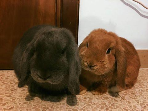 Coniglio nano ariete giarra bianca blu fulvo Pescara Pordenone mini lop coniglietti da compagnia