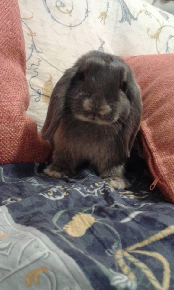 Coniglio nano ariete giarra bianca blu Pordenone Vicenza mini lop coniglietti da compagnia