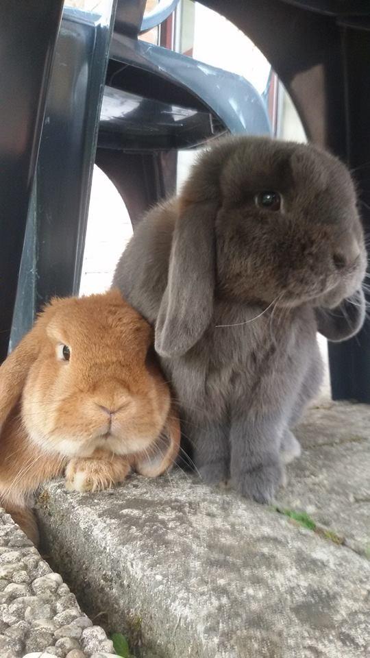 Coniglio nano ariete blu fulvo Bergamo mini lop coniglietti da compagnia