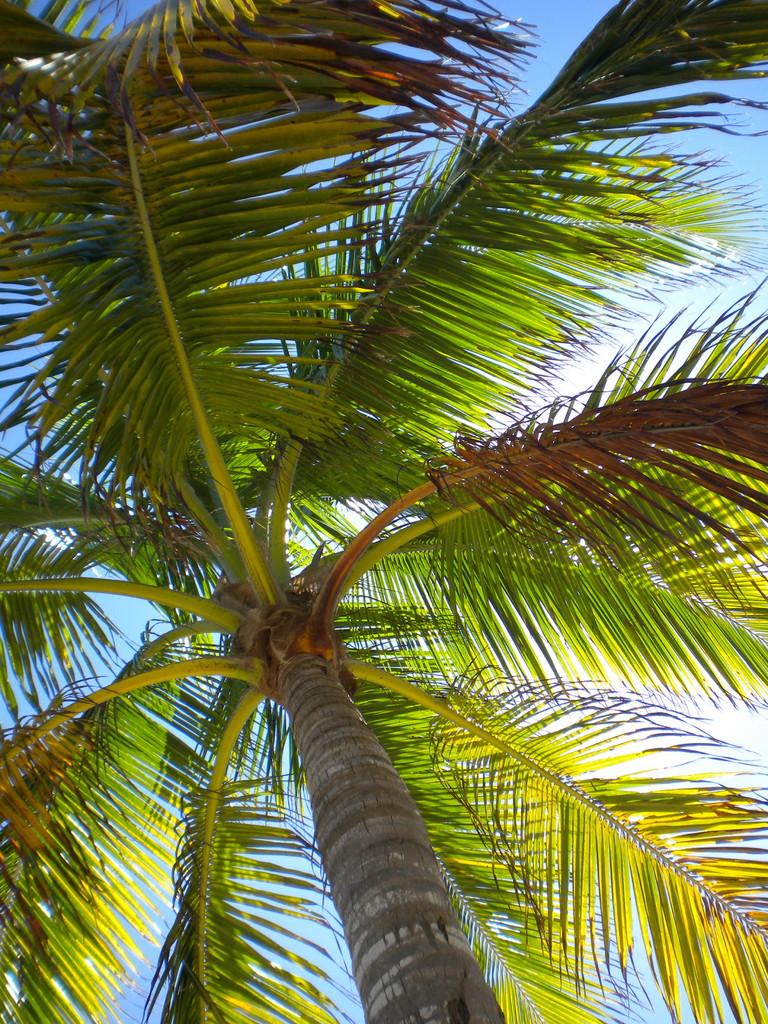 Kokospalme am James Bond Beach