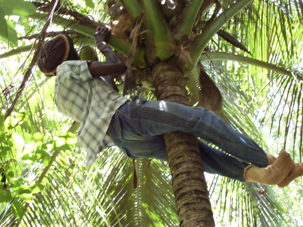 Kokosnüsse baumfrisch