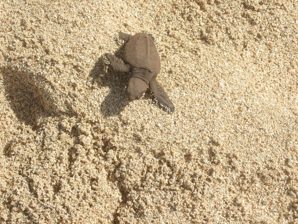 Baby Turtle at Reggae Beach