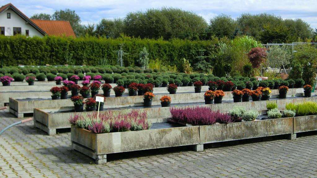 Freilandgelände / Calluna / Chrysanthemenbüsche