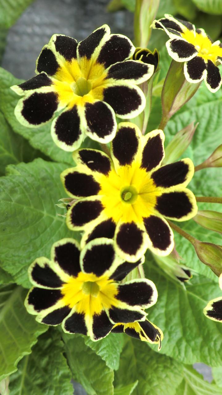 Stielprimel gelb-schwarz