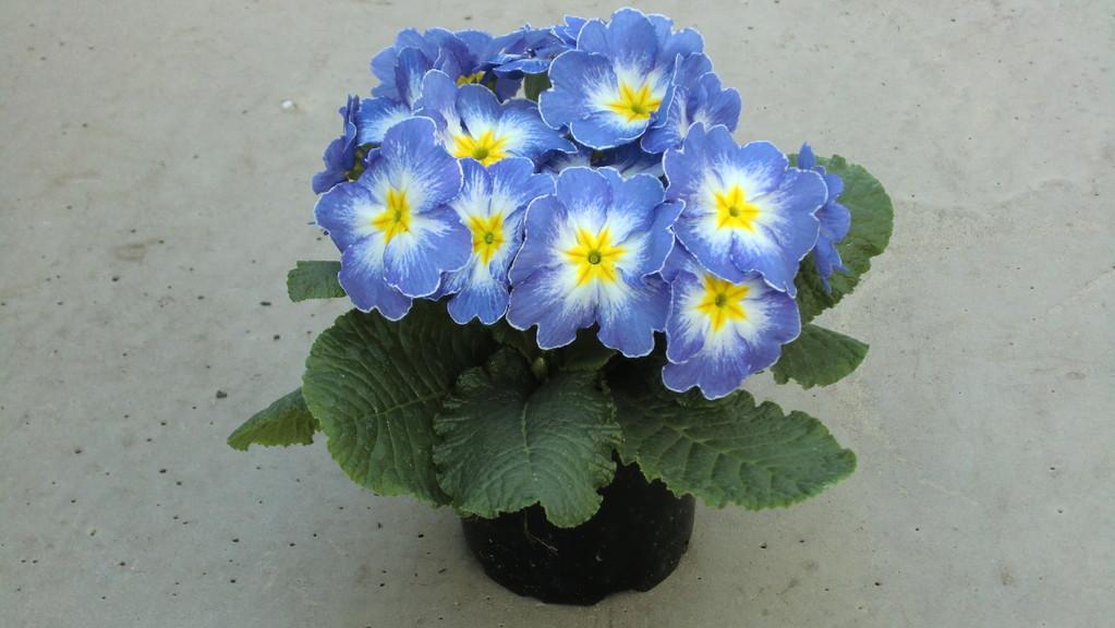 Kissenprimel Sonderfarbe blau-weiß