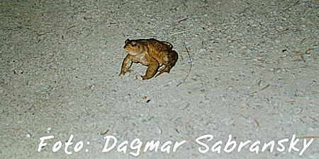 Trostpreis Amphibien: Dagmar Sabransky - Erdkröte