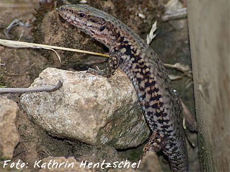3.Platz Reptilien: Kathrin Hentzschel - Mauereidechse