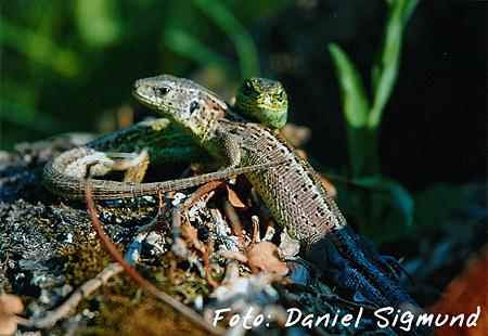 Trostpreis Reptilien: Daniel Sigmund - Zauneidechsen-Paar