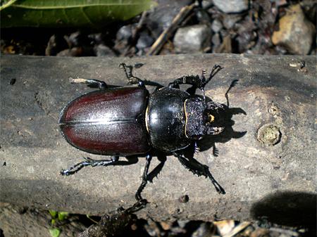Weibchen (Foto: Dr. Detlef Mader)