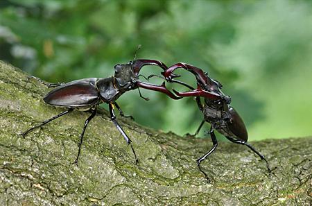 Kampf unter Männern (Foto: Dr. Detlef Mader)